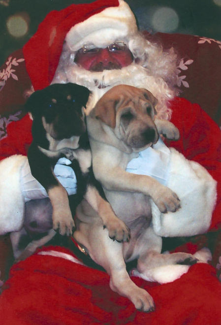 Pictures From Shar Pei Rescue Of Virginia Events Volunteer Donate Adopt A Shar Pei