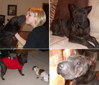 Hap Pei Endings Page 9 Shar Pei Rescue Of Virginia Volunteer Donate Adopt A Sharpei