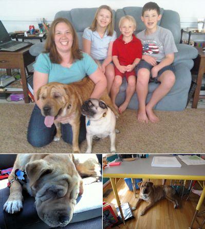 Hap Pei Endings Page 3 Shar Pei Rescue Of Virginia Volunteer Donate Adopt A Sharpei