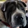 Hap Pei Endings Shar Pei Rescue Of Virginia Volunteer Donate Adopt A Sharpei