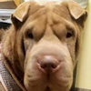 Hap Pei Endings Shar Pei Rescue Of Virginia Volunteer Donate Adopt A Sharpei