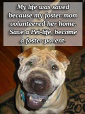 Save a SharPei, become a foster parent