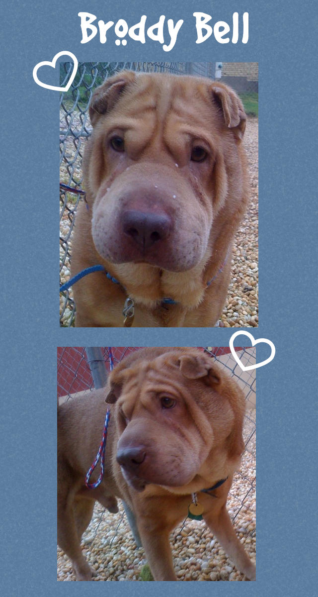 Broddy Bell Male Chinese Shar Pei Adopted From Shar Pei Rescue Of Virginia