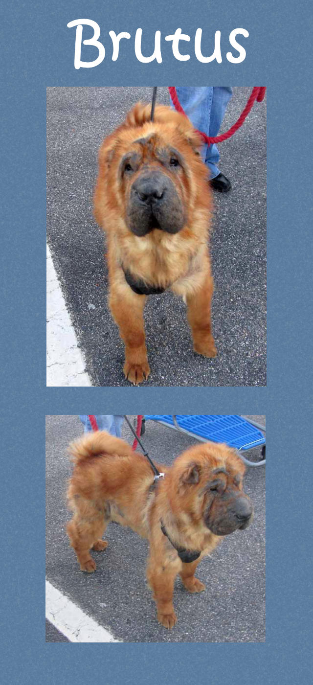 Brutus Male Bearcoat Chinese Shar Pei Adopted From Shar Pei Rescue Of Virginia