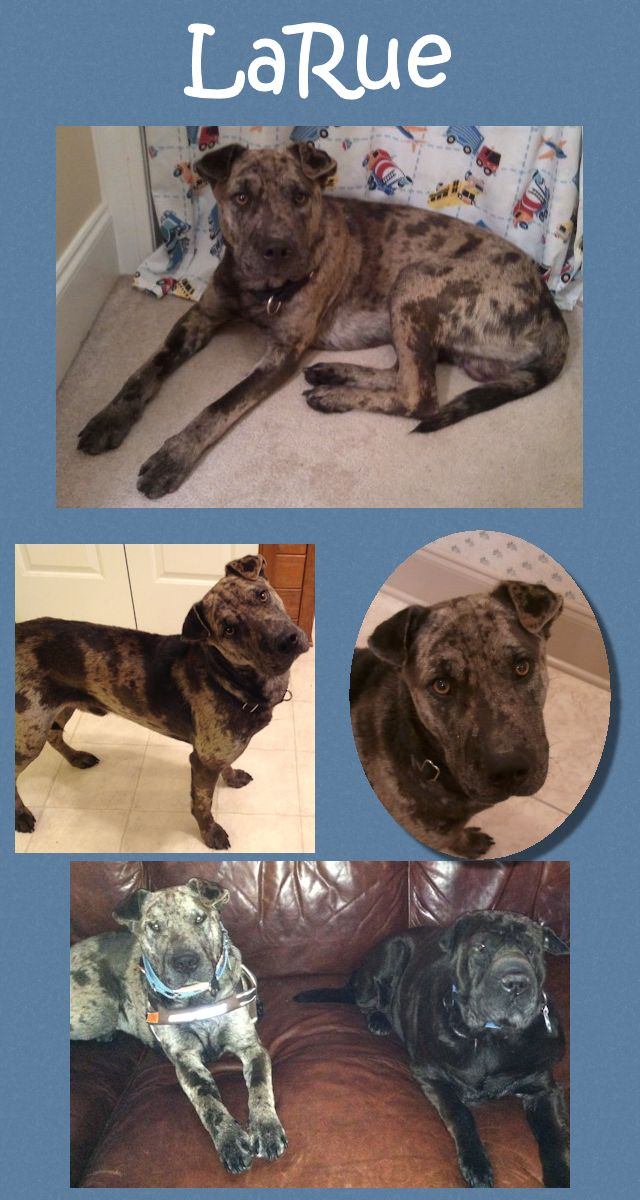 Larue Sweet Shar Pei Catahoula Leopard Dog Mix Adopted From Shar Pei Rescue Of Virginia