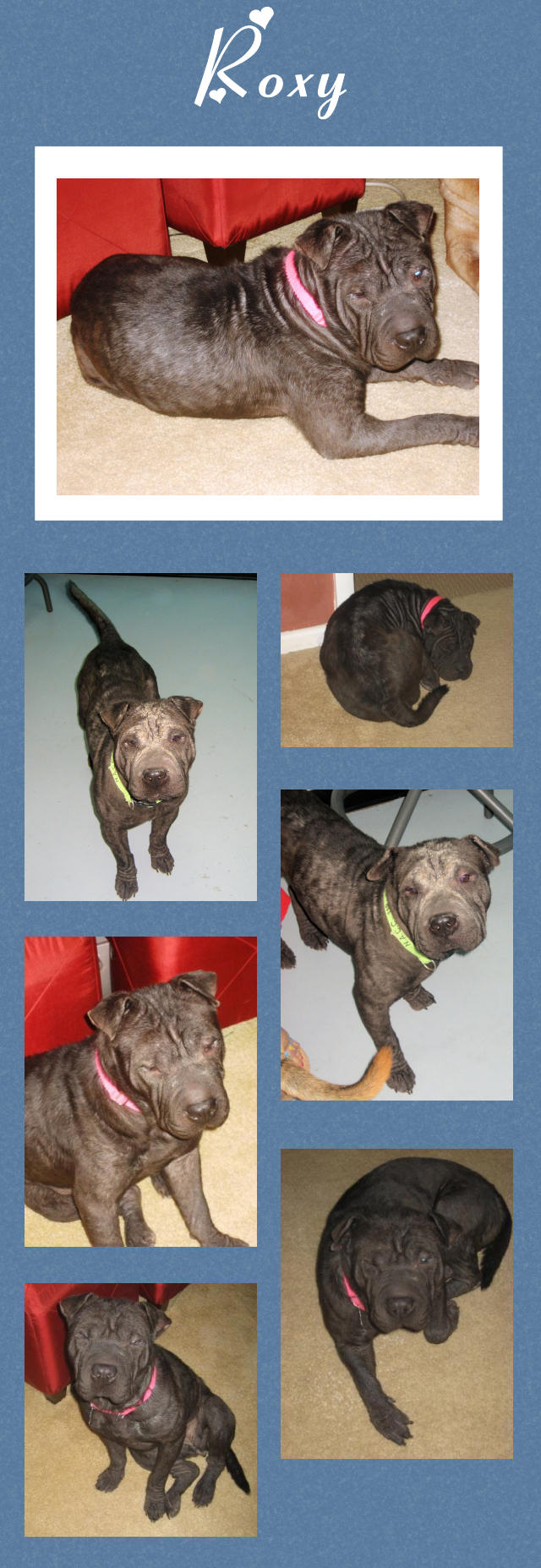 Roxy Black Female Chinese Shar Pei Adopted From Shar Pei Rescue Of Virginia