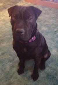 Shar Pei Available For Adoption Shar Pei Rescue Of