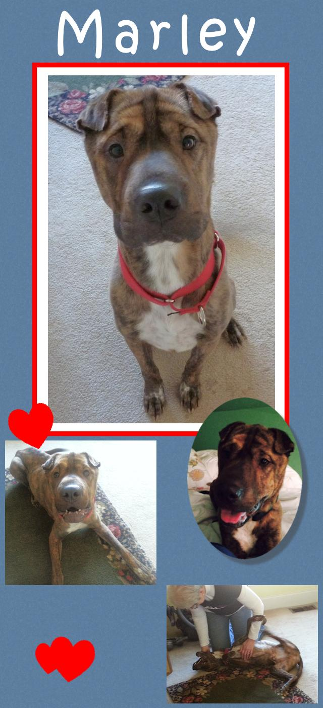 Marley Brindle Male Chinese Shar Pei Mix Adopted From Shar Pei