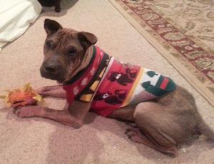 Shar Pei Available For Adoption Shar Pei Rescue Of Virginia Volunteer Donate Adopt A Sharpei
