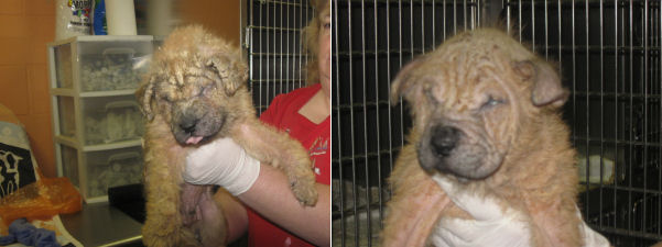 Puppy Journal Two Rescued Puppies With Mange And Serious Eye Infections Shar Pei Rescue Of