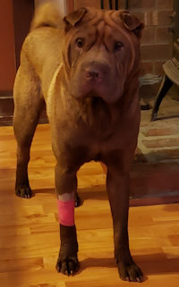 Shar Pei Available For Adoption Shar Pei Rescue Of Virginia Volunteer Donate Adopt A Sharpei
